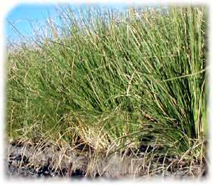 Comprar Graminea tropical Vetiver Zizanioides