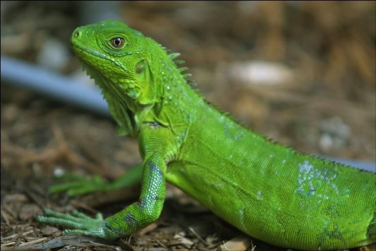 Comprar Iguanas Nacionales