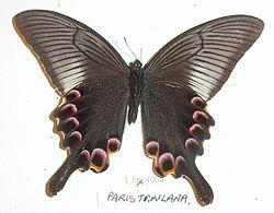 Comprar Mariposa Papilio Anchisiades