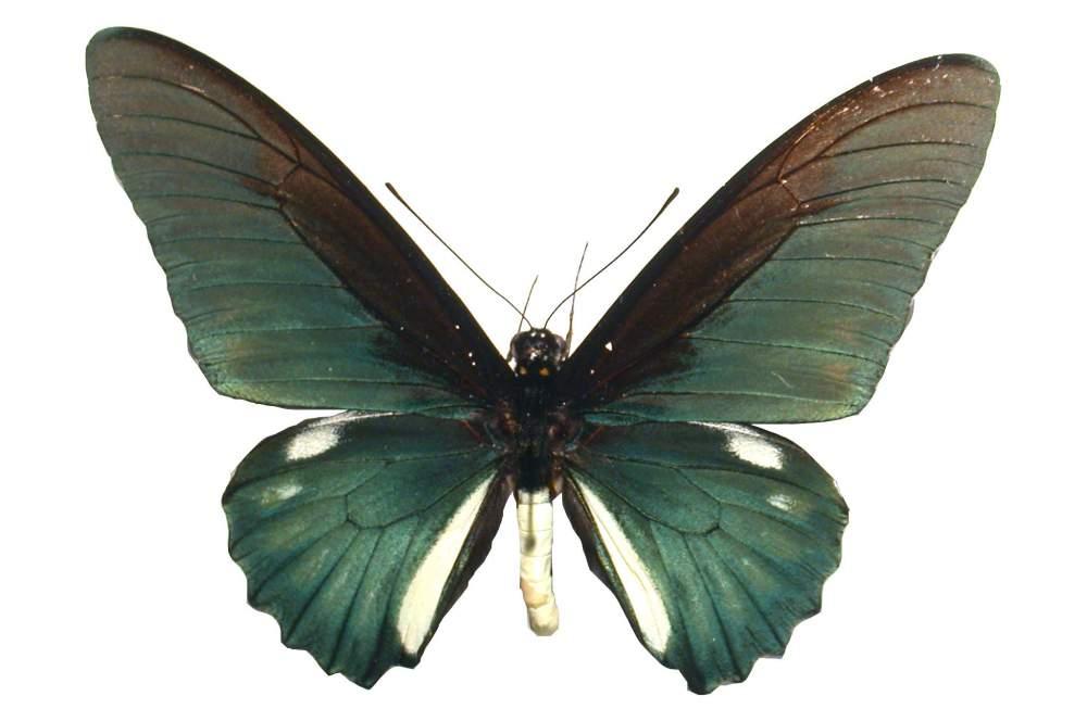Comprar Mariposa Battus Belus
