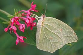 Comprar Mariposa Anteos clorinde