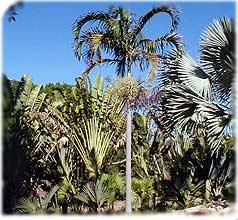 Palmera Carpentaria