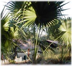 Palmita Cocco Thrinax