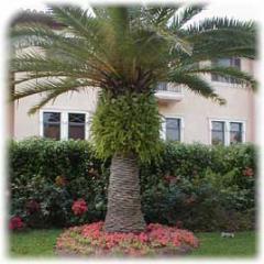 Palmita Canaris