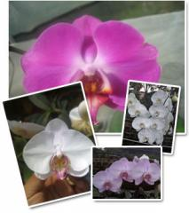 Orquídeas, Phalaenopsis spp.