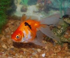 Goldfish Fantail o Cola de Velo