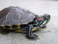Tortuga Orejas Rojas o Tortuga de Florida