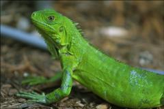 Iguanas Nacionales