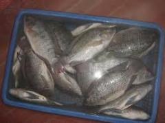 Pescado procesado