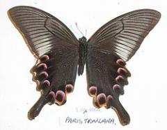 Mariposa Papilio Anchisiades