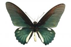 Mariposa Battus Belus