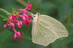 Mariposa Anteos clorinde