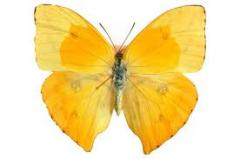 Mariposa Phoebis Philea