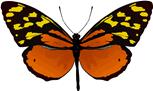 Mariposa Tithorea Harmonia
