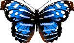 Mariposa Myscelia cyaniris