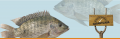 Concentrado para tilapias: engorde